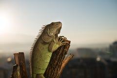 Iguana crawling on a piece of wood. And posing Stock Photo