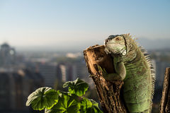 Iguana crawling on a piece of wood and posing. At the camera Royalty Free Stock Photo
