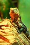 Iguana. An Iguana (Ctenosaura melanosterna) stands on a log Stock Photography