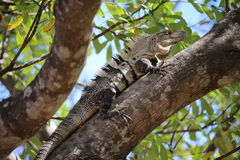 Iguana - Ctenosaura similis. Ctenosaura similis or Iguana in Costa Rica Royalty Free Stock Photography
