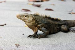 Iguana Ctenosaura similis in the Manuel Antonio stock photo