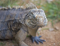 Iguana Royalty Free Stock Image