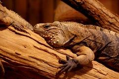 Iguana cuban Royalty Free Stock Photos