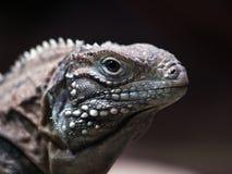 Iguana cubana Imagen de archivo