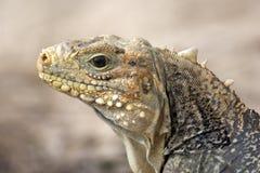 Iguana cubana de la roca Fotos de archivo