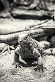 Iguana cubana della roccia - Cyclura desiderabile, incolore Fotografia Stock