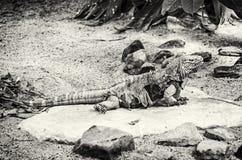 Iguana cubana della roccia - Cyclura desiderabile, incolore Immagine Stock Libera da Diritti