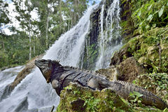 Iguana cubana na floresta ao lado de uma queda da água Imagem de Stock Royalty Free