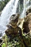 Iguana cubana na floresta ao lado de uma queda da água Imagens de Stock