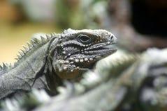 Iguana cubana (nubila de Cyclura) Imagen de archivo libre de regalías