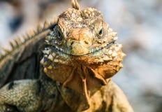 A iguana cubana selvagem olha-o fotografia de stock royalty free