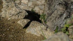 Iguana Cusco Fotografia Stock