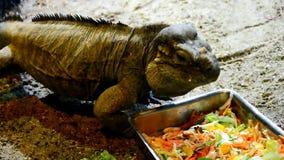 Iguana Cyclura Cornuta do rinoceronte que alimenta-se com vegetal cortado vídeos de arquivo