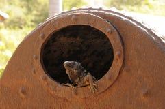 Iguana da caldeira da agave Fotos de Stock Royalty Free