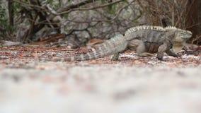 Iguana da Espinhoso-cauda que anda fora do quadro vídeos de arquivo