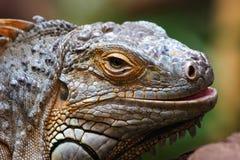 Iguana da iguana Foto de Stock