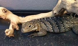 Iguana da rocha Imagens de Stock