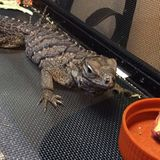 Iguana da rocha Fotografia de Stock Royalty Free