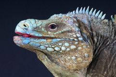 Iguana da rocha azul/lewisi de Cyclura Fotografia de Stock