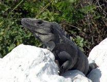 Iguana da selva Fotografia de Stock