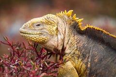 Iguana da terra de Galápagos Imagens de Stock Royalty Free