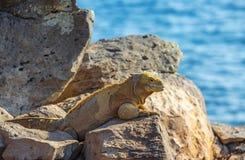 Iguana da terra de Santa Fe, consoles de Gal?pagos, Equador imagens de stock royalty free