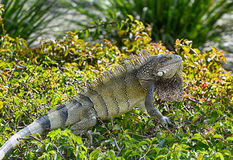 Iguana das caraíbas fotografia de stock