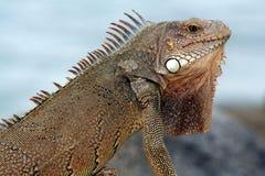 Iguana de Aruba Fotografia de Stock