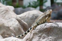 Iguana de Aruba Imágenes de archivo libres de regalías