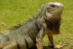 Iguana de Aruban Fotografía de archivo