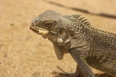 Iguana de bonaire imagens de stock