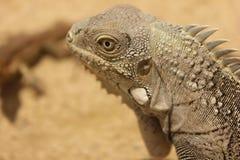Iguana de bonaire foto de stock royalty free