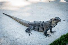 Iguana de Brown Imagenes de archivo