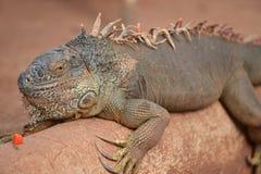 Iguana de Brown Fotografia de Stock