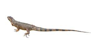 Iguana de Brown Imagen de archivo libre de regalías