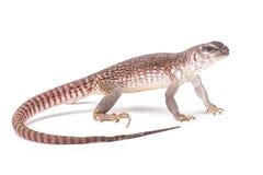 Iguana de desierto (dorsalis del Dipsosaurus) fotografía de archivo