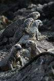 Iguana de Galápagos Fotografia de Stock Royalty Free