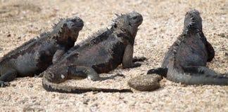 Iguana de Galápagos Fotografia de Stock