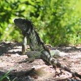 Iguana de Key West Imágenes de archivo libres de regalías