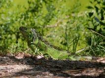 Iguana de Key West (2) Imagens de Stock