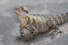 Iguana de la calle Fotografía de archivo libre de regalías