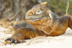 Iguana de la pista Imagenes de archivo