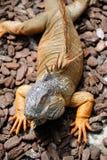 Iguana de la pista Fotografía de archivo