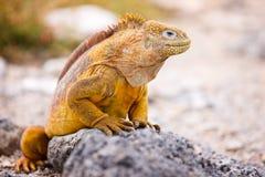 Iguana de la pista Fotografía de archivo libre de regalías