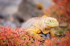 Iguana de la pista Imagen de archivo