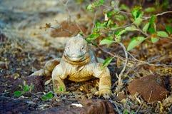 Iguana de la pista de las Islas Gal3apagos Fotografía de archivo
