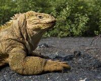 Iguana de la pista de las Islas Gal3apagos Imagen de archivo
