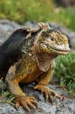 Iguana de la pista de las Islas Gal3apagos Foto de archivo libre de regalías