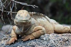 Iguana de la pista de las Islas Gal3apagos Foto de archivo