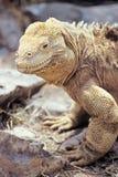 Iguana de la pista de Santa Fe, islas de las Islas Gal3apagos, Ecuador Fotos de archivo